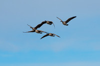 Migrating Geese at Pony Creek