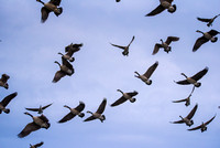 Canadian Geese Flock 2_