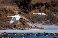 Trumpeter Swans 3_