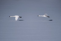 Trumpeter Swans takeoff_