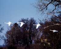 Trumpeter Swans 1_